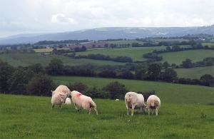 Sheep near White Castle