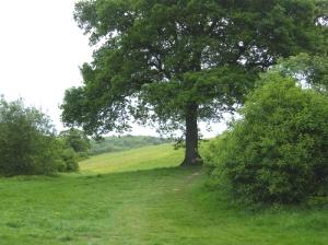 Case hill big oak