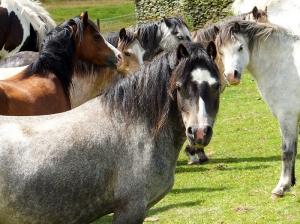 Parc Cwm Darran ponies