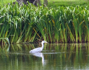 Pitcot Pond & Grey Heron