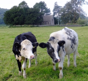 Inquisitive bullocks near St Brigid's Church