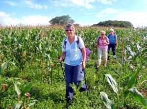 Walking through the maize towards Tythegston