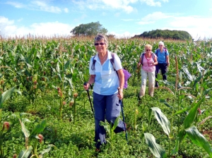 Walking through the maize towards Tythegston