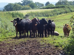 Cattle blocking path on way the Great Bailea Farm