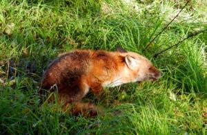 Fox scoffing apples