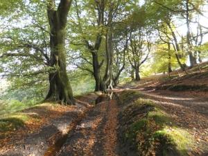 an avenue of beech trees