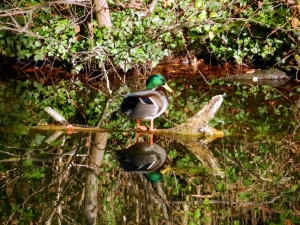 A mallard duck is mirrored in the still water