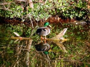 A mallard duck is mirrored in the still water