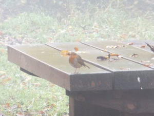 Cheeky Robin by the cabin