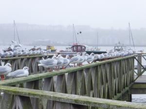 Balck-headed gulls at the Wetland Reserve