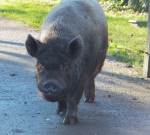 Cyril the pig