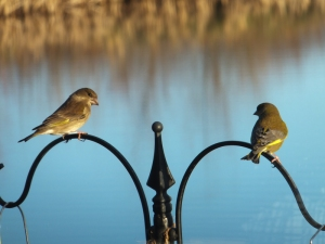 Geeen finches at RSPB Centre