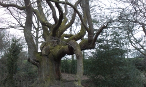 800 year old tree near Cwrt y Gollen camp lower slopes of Sugar Loaf