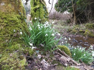 Snowdrops beside the brook at coffee time