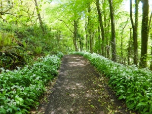Garlic lined paths in Nicholaston Wood
