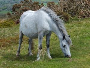 In foal a pony at Cefn Bryn