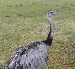 Rhea at Ffynon-y-gwaed