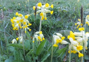 Wenvoe cowslips in the community nature reserve