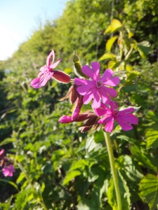 Wenvoe red campion