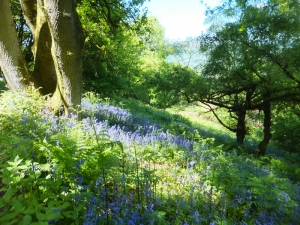 Bluebells at Coed Graig-Leici