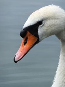 Cosmeston Lake - close up of mute swan