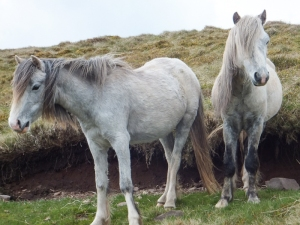Shy ponies on the way up Twmpa