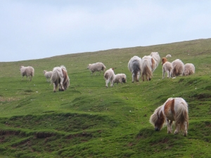 Small ponies only as big as the sheep