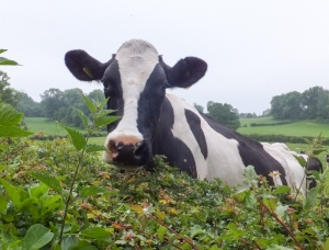 Cow peeping over the hedge
