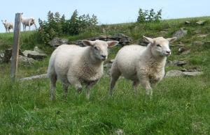 Mynydd Machen growing lambs