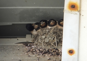 Housemartin chicks at Llantwit beach in a vent