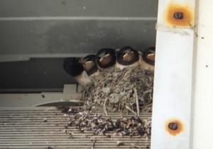 Housemartin chicks at Llantwit beach in a vent