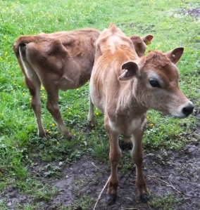 Jersey calves at Michaelston-le-Pit
