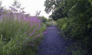 Willowherb adorns the path