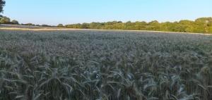 Through the barley fields
