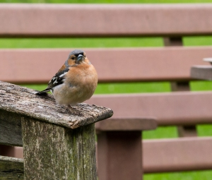 Chaffinch looking for scraps at Mountain Centre