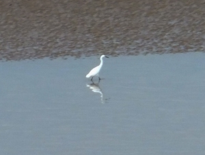 Little Egret on Severn