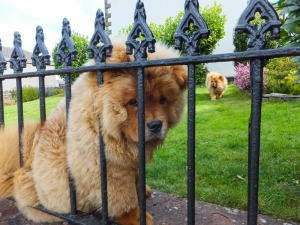Chow Chows at Nelson