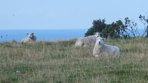 Sheep on the clifftop
