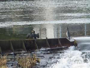 Cormoramnts Llandaff Weir