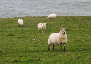Sheep on clifftop on return journey