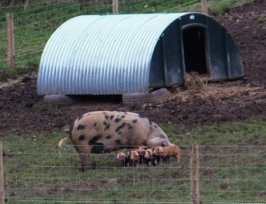 Gloucester Old Spot and piglets