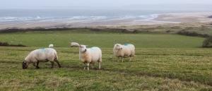 Sheep filled fields