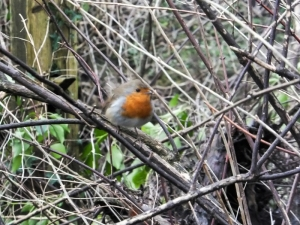 Puffed up Robin