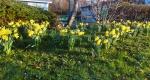 Daffodils Dunleavy Drive