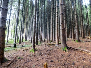 Conifer Plantation