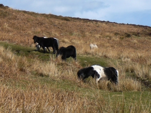 Ponies on Hatterrall Hill