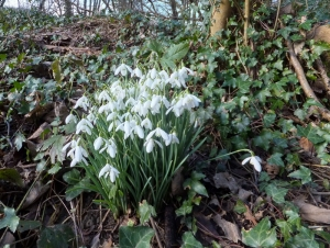 Seasonal snowdrops Park Wood