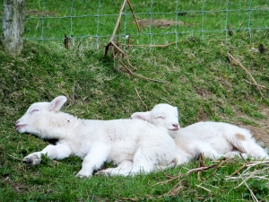 Beacons Down lambs sleeping