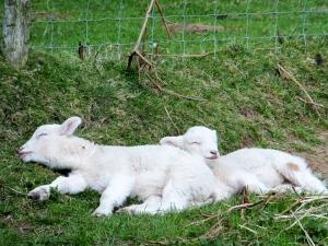 Beacons Down lambs sleeping