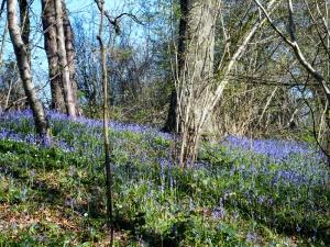 Woodland at Piercefield Walks